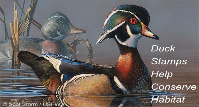 Duck Stamps Help Conserve Habitat