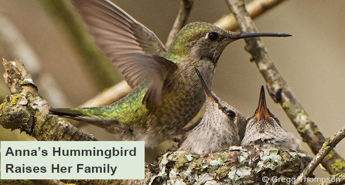Anna's Hummingbird raises her chicks