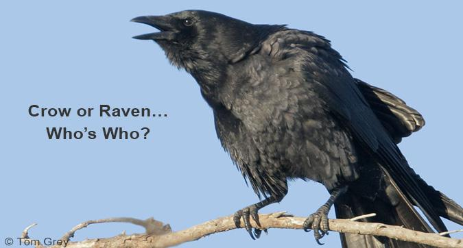 Crow or Raven - Who's Who?