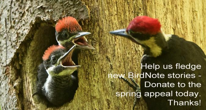 Donate Spring Appeal Pileated Woodpeckers