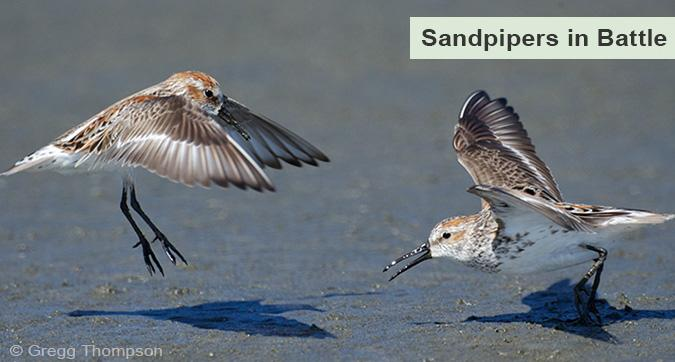Western Sandpipers fighting