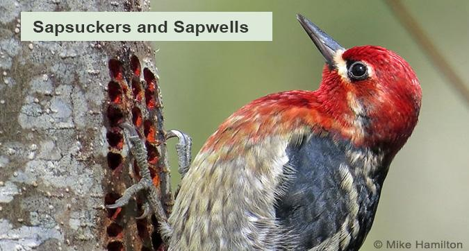 A Red-breasted Sapsucker making sapwells
