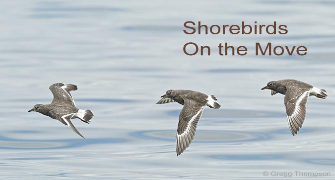 Surfbirds Shorebirds on the Move