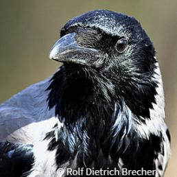 Wide World Hooded Crow