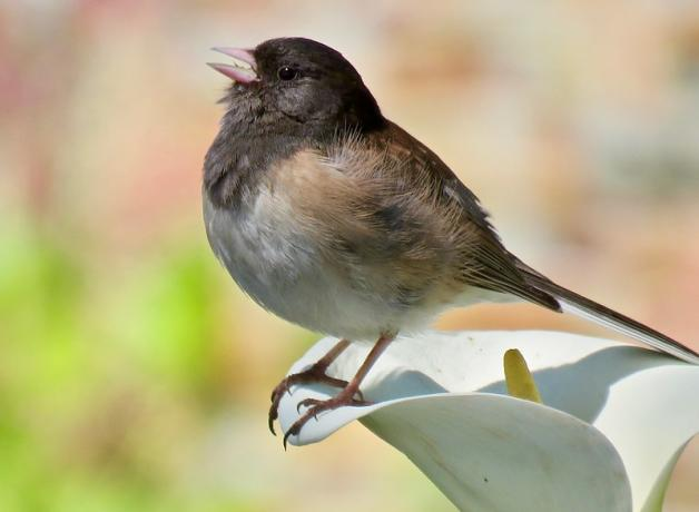 Dark-eyed Junco perched on flower and singing
