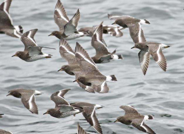 Surfbirds in flight at Alki Beach, Washington State