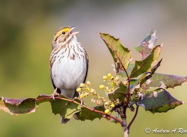 Savannah Sparrow singing, perched on a flowering branch lit by the sun