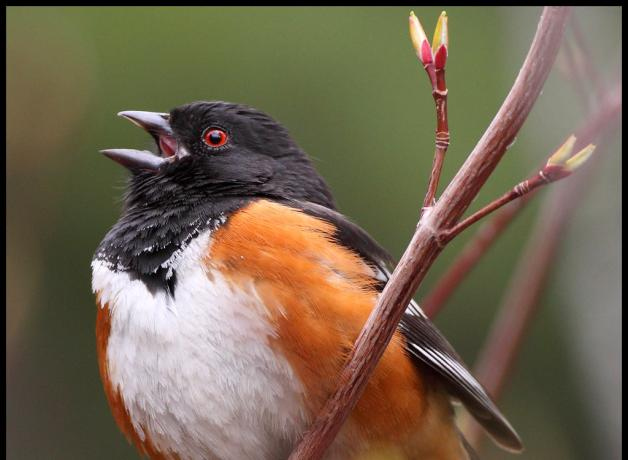 Spotted Towhee in full song