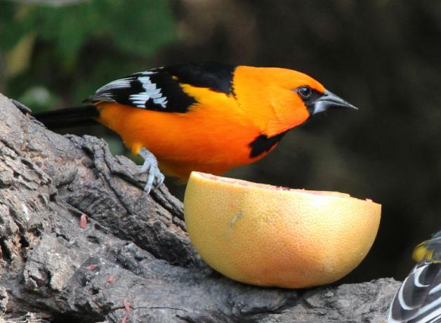 Altamira Oriole at a feeding station, perched next to a sliced orange