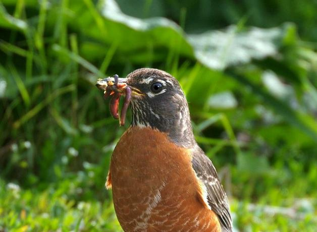 Robins-and-earthworms-Eric-Begin-285