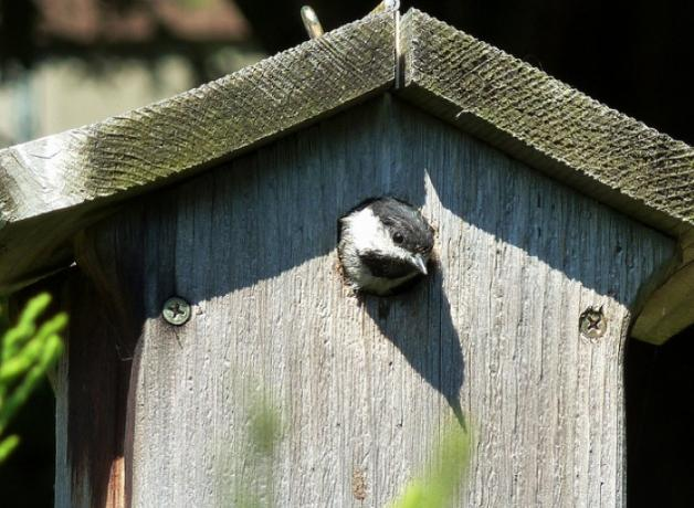 Black-capped Chickadee in a nest box