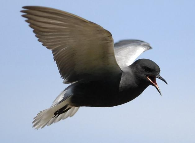 A Black Tern in flight