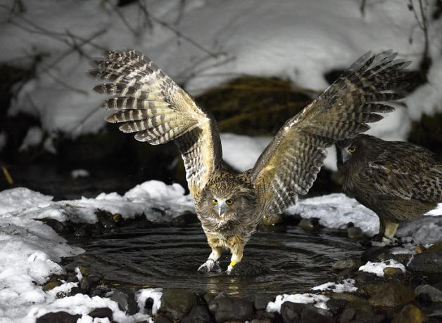 Pair of Blakiston's Fish Owls, one watching as the other fishes in a snowy pool, its wings outspread