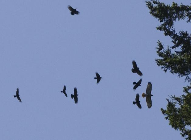 American Crows mobbing a raptor