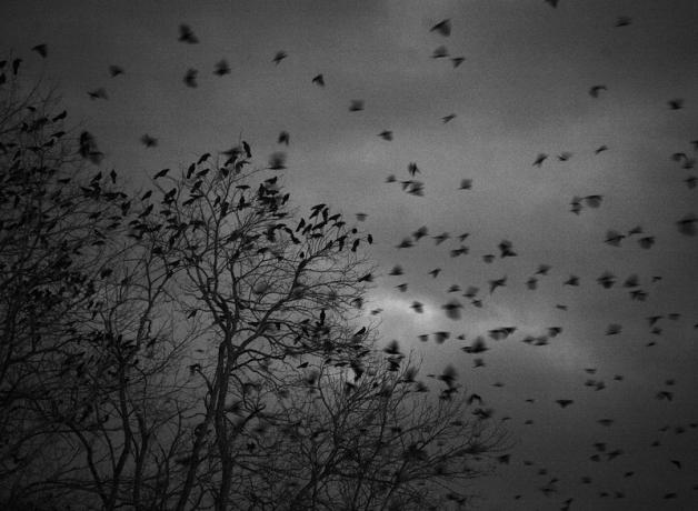 American Crow roost