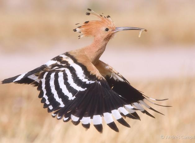 Eurasian Hoopoe in flight, carrying a grub in its beak