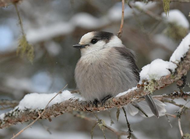 Gray Jay perched on snowy branch