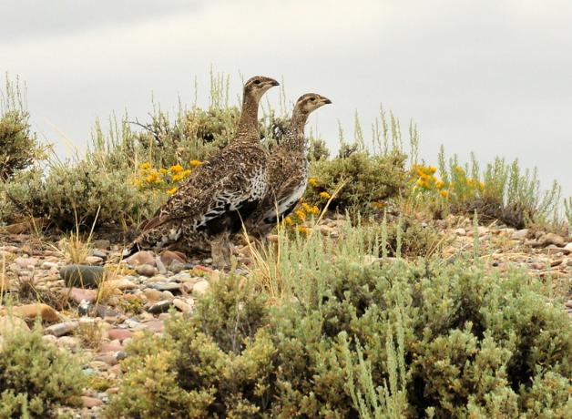 Great Sage-Grouse