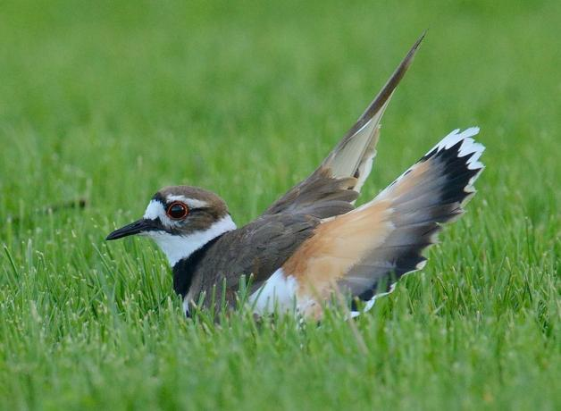 Killdeer doing a broken wing distraction