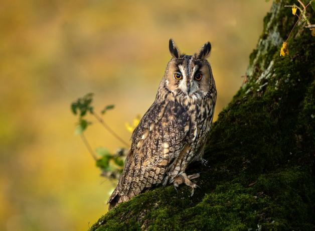 Long-eared Owl perched on side of tree, orange eyes gleaming