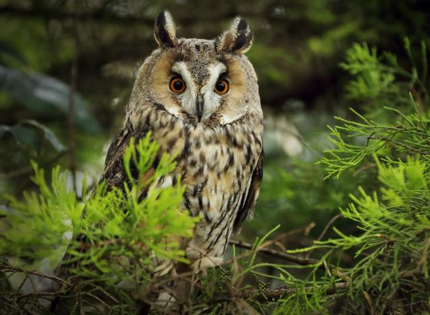 Long-eared Owl perched in tree