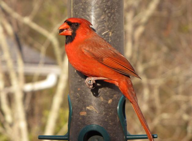 Northern Cardinal male at bird feeder