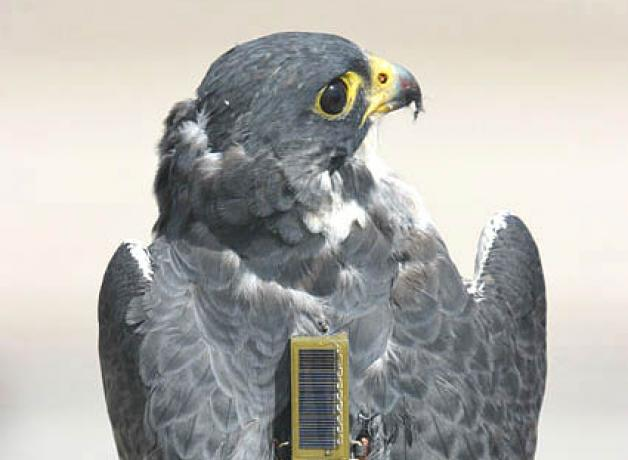 Peregrine Falcon with transmitter