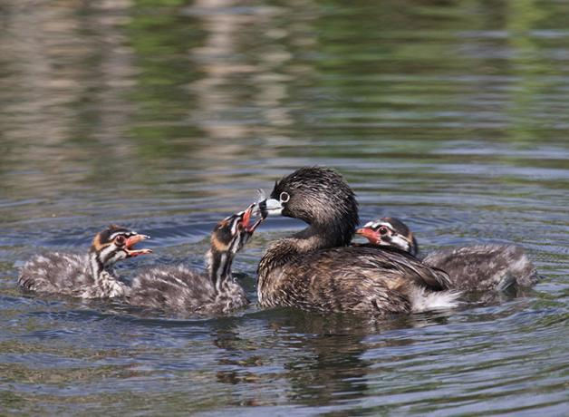 Pied-billed Grebe feeding feather to her chicks