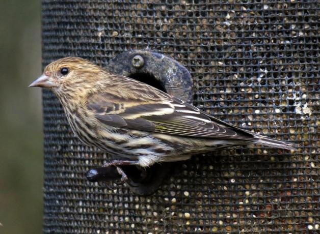 Pine Siskin at bird feeder