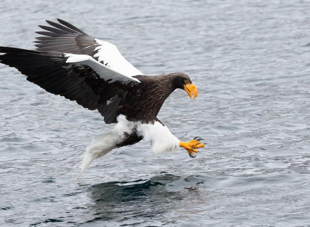 Steller's Sea Eagle poised in flight above water, about to catch prey