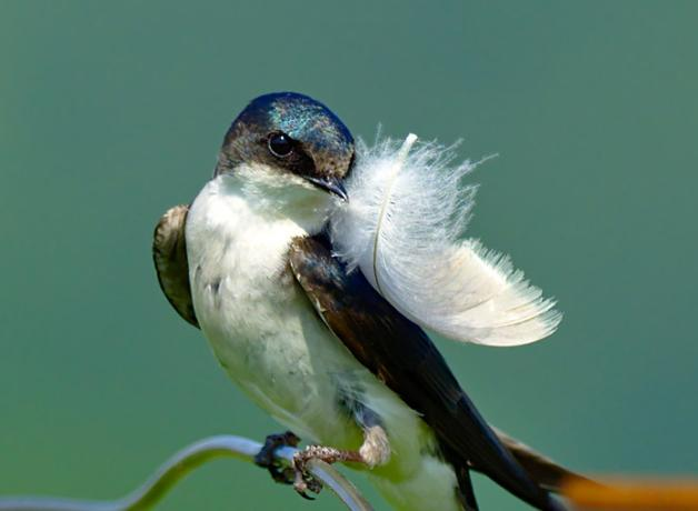 Tree Swallow with feather