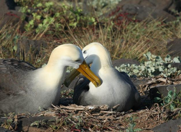 Pair of Waved Albatross, one sitting at nest, their beaks/heads touching, at Espanola, Galapagos