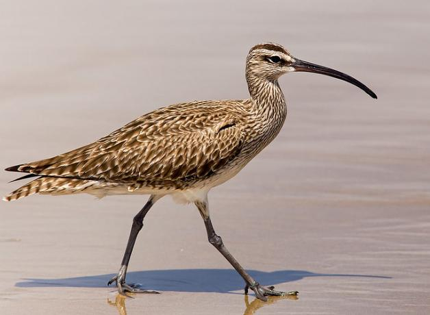 Whimbrel walking on sand