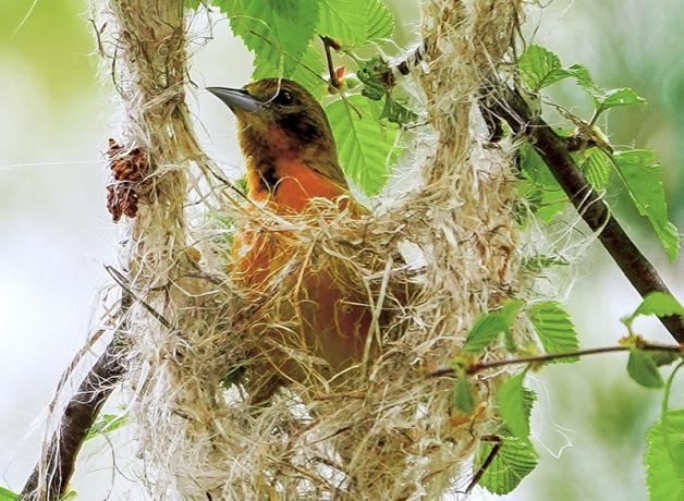 Baltimore Oriole female building nest