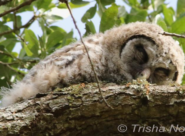Barred owlet napping on a branch