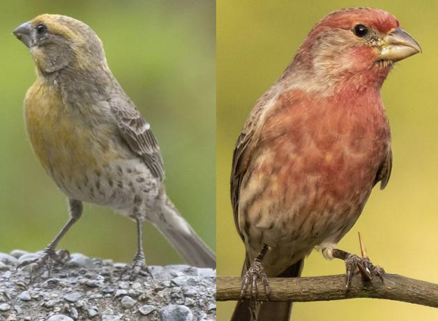 Yellow House Finch and Red House Finch
