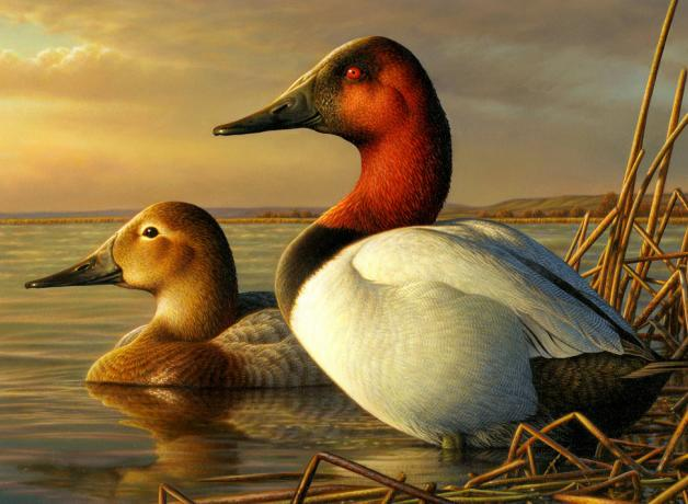 Canvasback Ducks on duck stamp