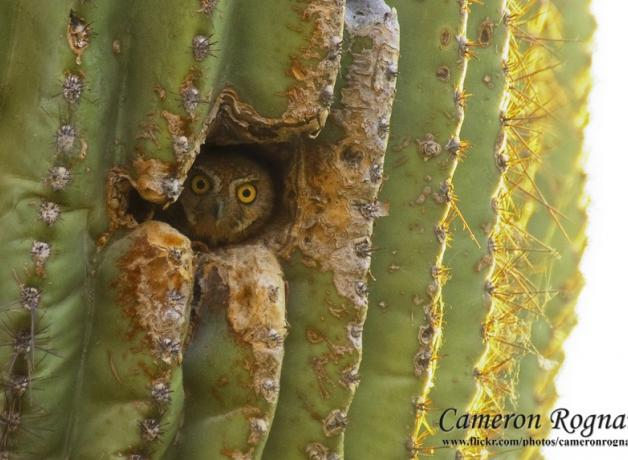 Elf Owl peeking out from a cactus