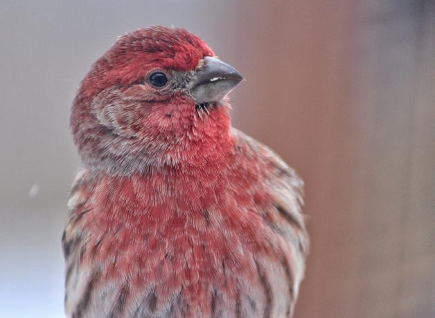 Male House Finch in close-up