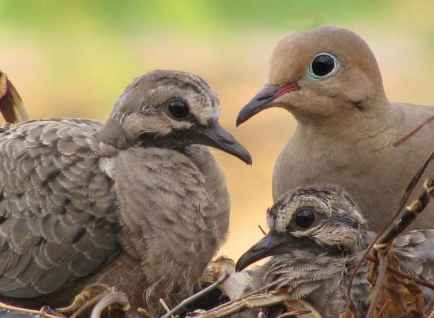 Mourning Dove parents and chicks