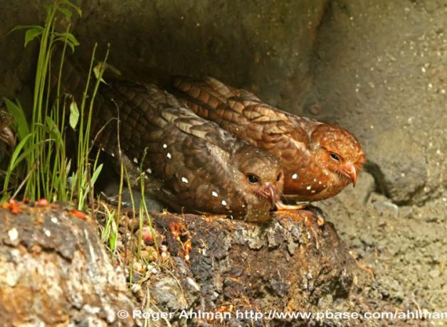 Oilbirds perched on rocks in cave