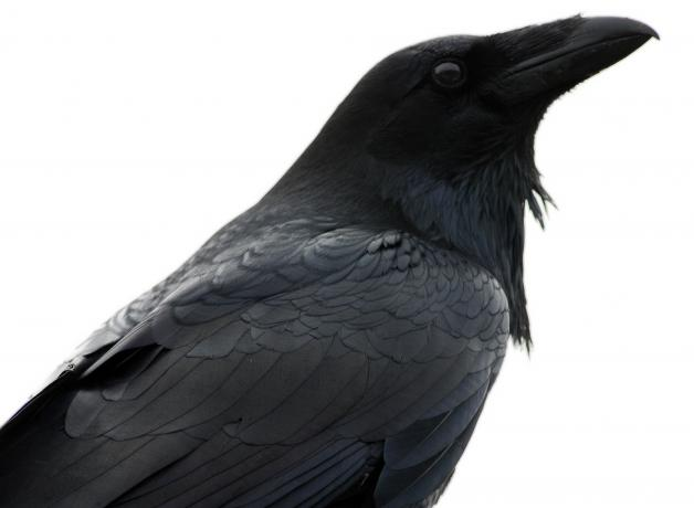 Raven in profile