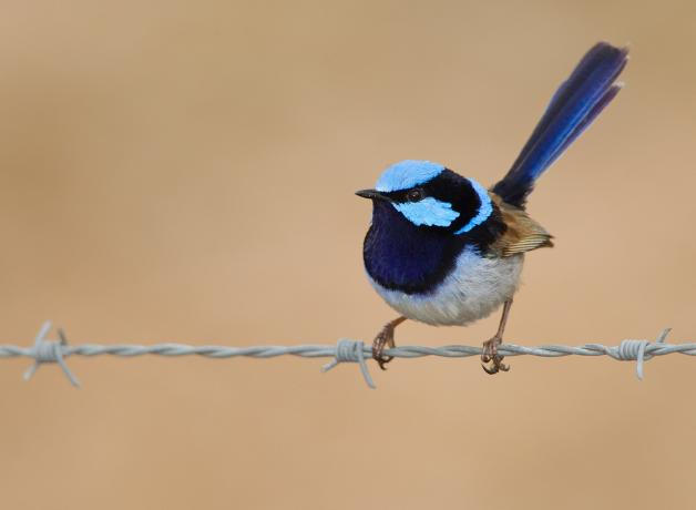 A Superb Fairy Wren perched on a wire fence