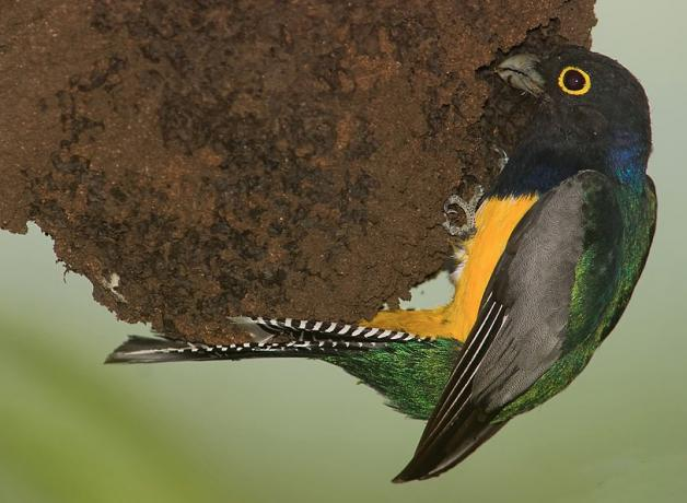 A Violaceous Trogon perched on a wasp nest