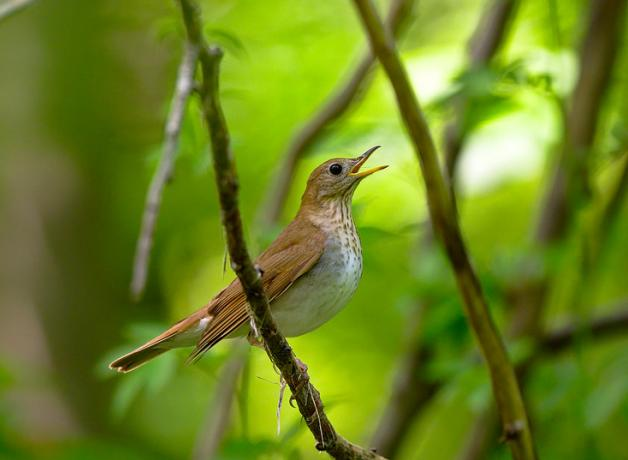 Veery singing on a branch