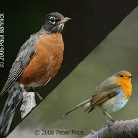 American Robin (left) and European Robin (right)