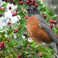 American Robin on a branch with berries