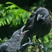 Begging juvenile and adult Crow