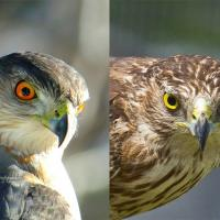 Adult Cooper's Hawk compared to a juvenile Cooper's Hawk