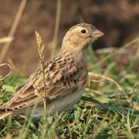 A Thick-billed Longspur in the grass